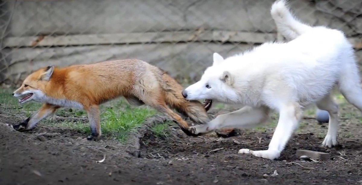 часто фотографии волка и лисы инспекторов дпс