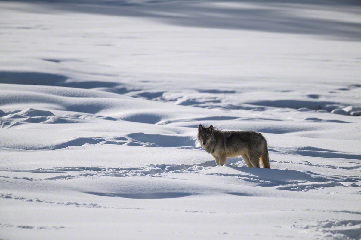 волк уходит от погони картинки электрореклайнеров подъемных