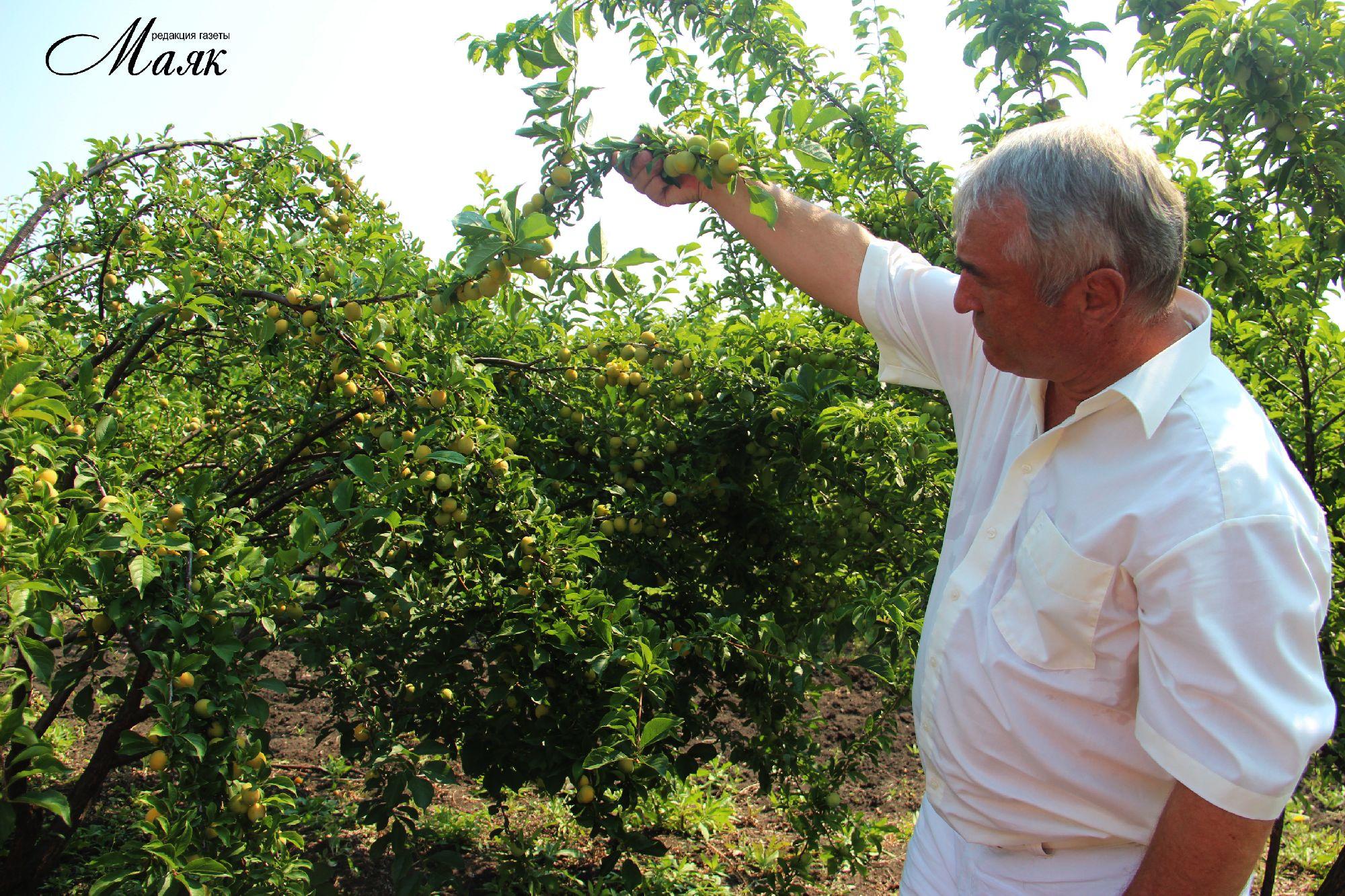 Бизнес выращивание абрикосов